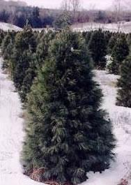 Healthy Christmas Tree Industry